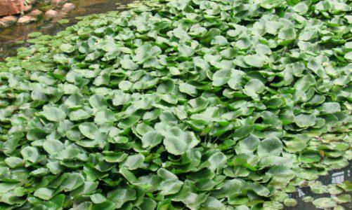 Xử lý nước thải chăn nuôi heo bằng thực vật có hiệu quả không?
